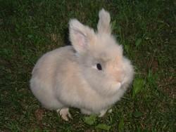 kelinci-angora